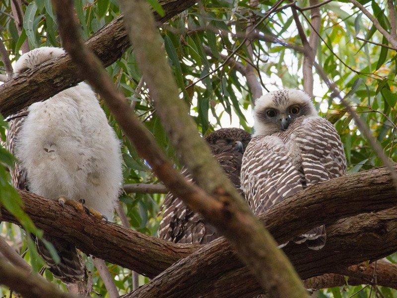 powerful owl 1